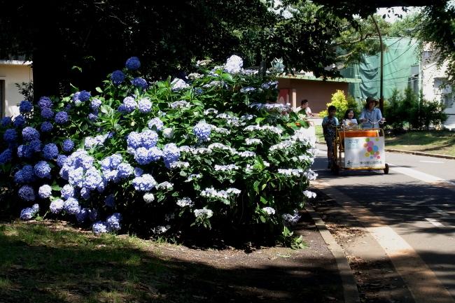 駒沢公園54キロアジサイがきれいだ