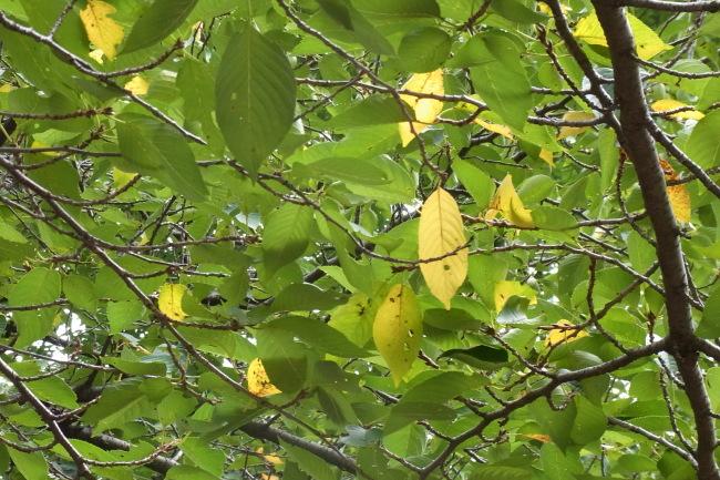 駒沢公園54キロ桜の葉っぱ黄色くなってきた