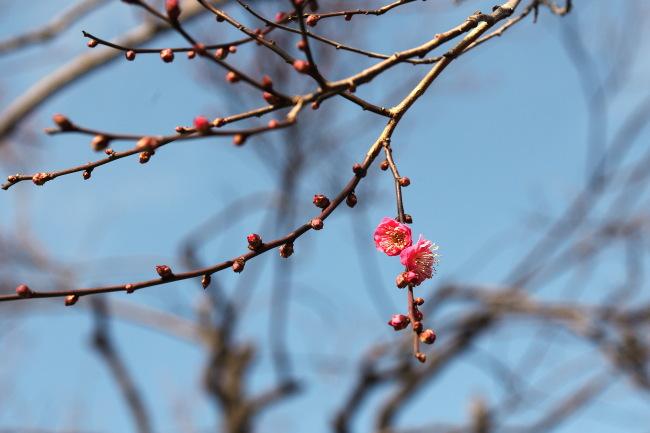 駒沢公園で梅の花が咲いていた