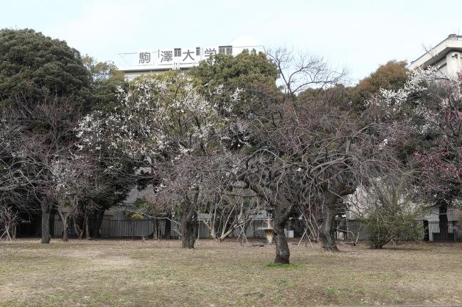 駒沢公園の梅はまだまだ53キロ