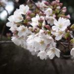桜が咲き始めた駒沢公園