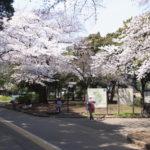 2017年駒沢公園の桜が満開