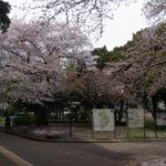 雨が降ったけど、まだ駒沢公園の桜は持ってます