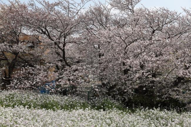 桜とハナダイコン